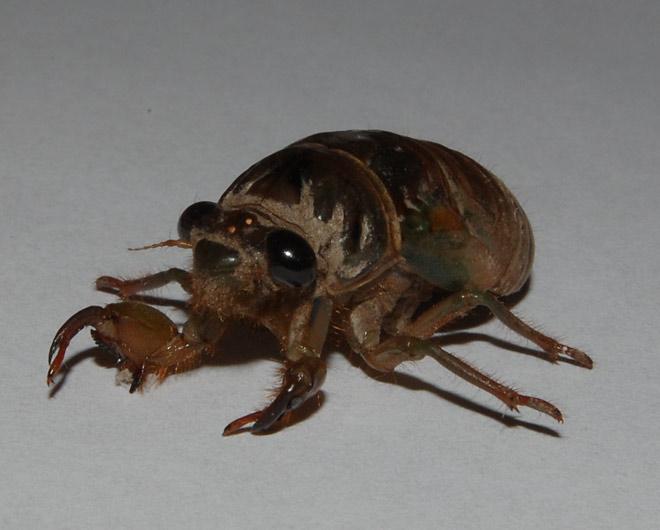 cicada nymph - photo #26