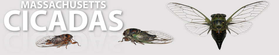 Welcome To Massachusetts Cicadas
