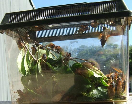 cassini periodical cicadas - photo #36