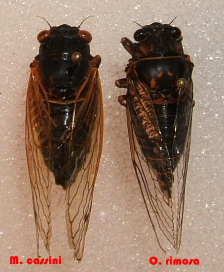 cassini periodical cicadas - photo #37