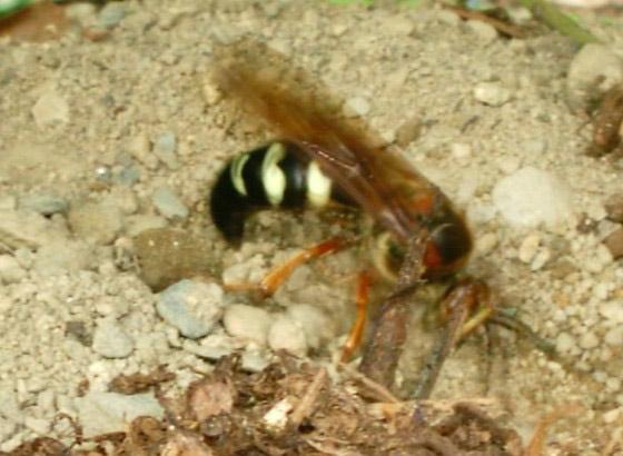 Cicada Killers Of New England